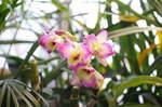 2011_0110蘭が咲きました0003.JPG